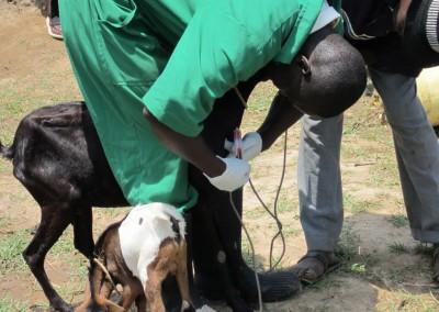 Busia-goat blood sampling