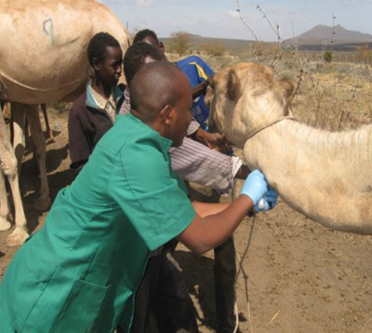Camel blood sampling