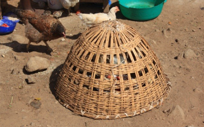 Indigenous poultry production-Korogocho