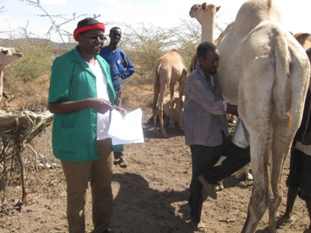 Camel milk & meat value chain